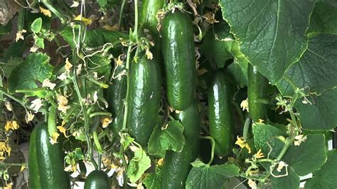 hydroponic cucumbers grown indoors   led grow light