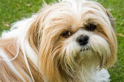 shih tzu diseases shih tzu facts