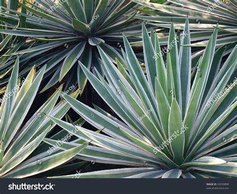 Tropical Yucca Plant by Tropical Yucca Plants Stock Photo 29250898