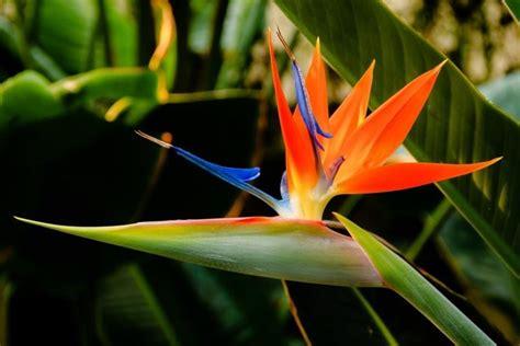 fiore uccelli paradiso uccelli paradiso piante da giardino uccelli