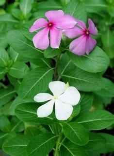 Pupuk Untuk Bunga Tapak Dara jual pupuk dan obat tanaman tanamanbaru