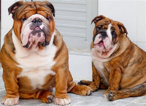 Patriots Day Free Online Full Movie breeding english bulldogs