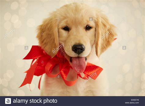 puppy with bow golden retriever puppy with bow stock photo 79652026 alamy