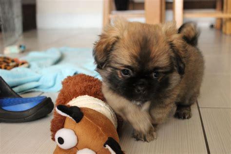 tibetan spaniel puppies for sale tibetan spaniel puppies blackwood caerphilly pets4homes
