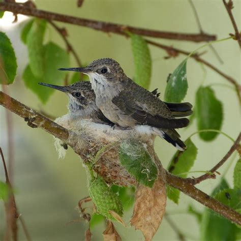 pin hummingbirds nesting food facts free nectar recipe