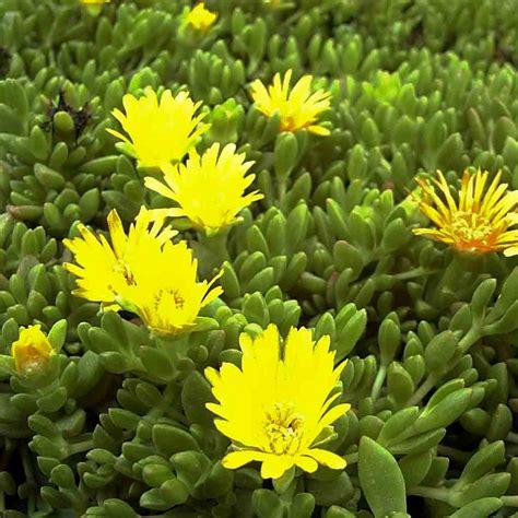 pflanzen shop naturagart shop stauden mittagsblume gelb kaufen