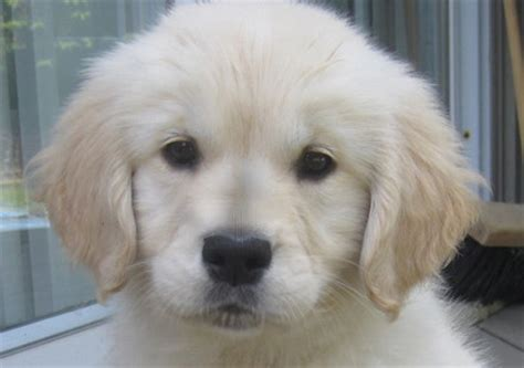 golden retriever puppies ontario golden retriever breeders in ontario dogs in our photo