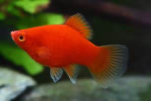 Buy Platy Online at Aquarium Warehouse