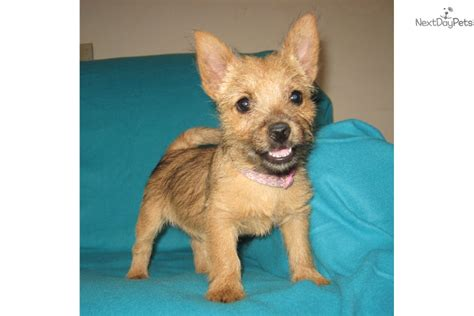 norwich terrier puppies for sale pets for sale and adoption oodle marketplace html autos weblog
