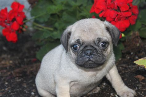 silver pug for sale baby white pugs black silver for sale teacup litle pups