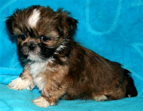 shih tzu breeders indiana black and brown shih tzu puppies photo happy heaven