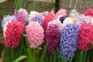 hyacinth color the cent dix 110 a bit of everything a