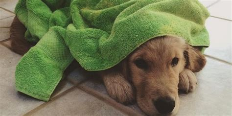 golden retriever puppy taking a bath golden retriever puppy takes baths alone