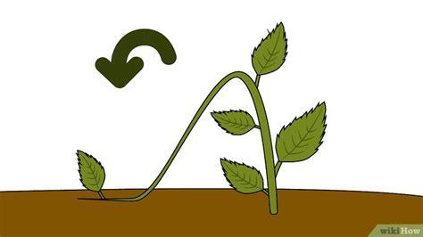 hortensien stecklinge hortensien aus stecklingen ziehen wikihow
