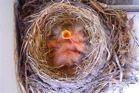 robin birds hatch in my garden shawna coronado