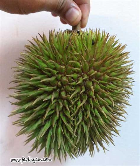 durian hutan  hulu langat segalanya tentang tumbuhan
