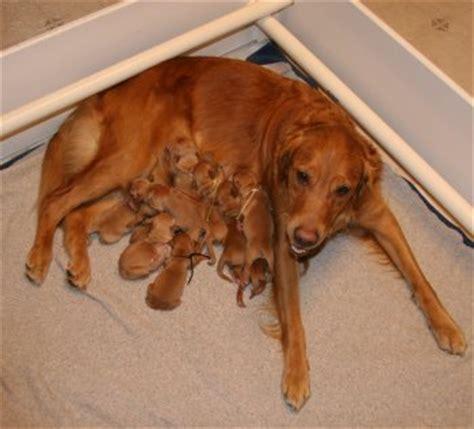 1 day puppy golden retriever puppies x litter 5
