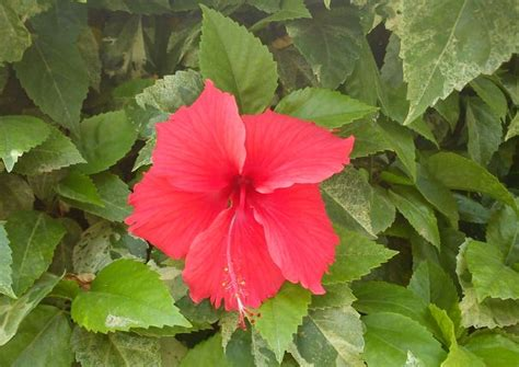 tropical flowering shrub hibiscus