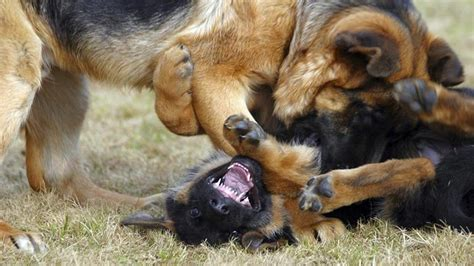 aggression towards aggression signs causes and trainings barking royalty