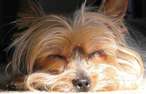 yorkie breeds types yorkie barking is your terrier barking breeds picture