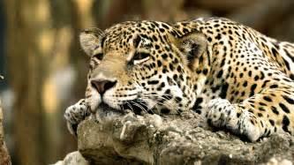 Jaguar Africa National Geographic Wallpaper 623427