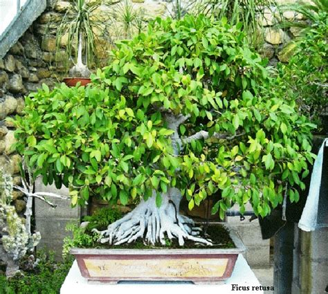 bonsai da interni bonsai da interno