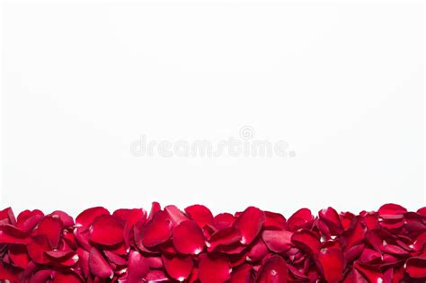 petals for valentines day beautiful roses petals on white background s day anniversary etc background