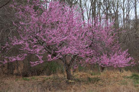 file cercis canadensis redbud tree bloom jpg wikimedia