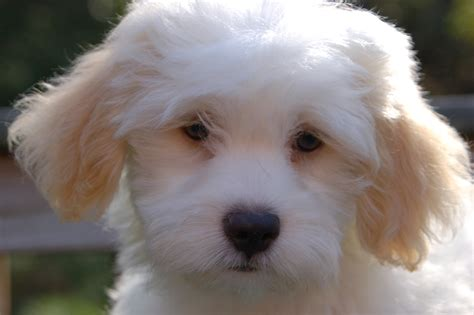 havanese puppies for sale florida havanese breeders in rhode island royal flush havanese