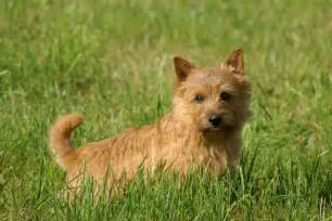 Norwich terrier puppies for sale from reputable dog breeders
