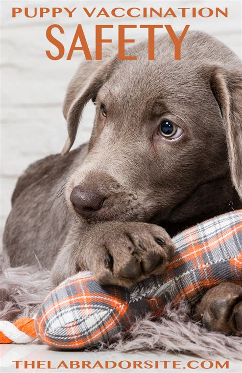 puppy vaccinations side effects puppy vaccinations safety and side effects