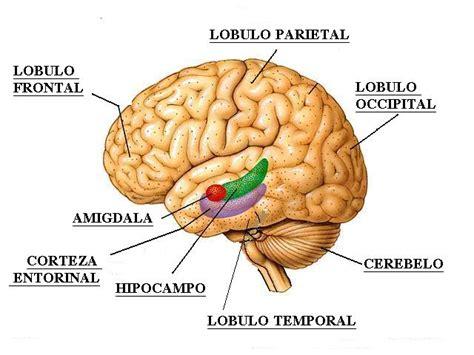 inductor principal en la induccion neural primaria medlebu am 237 gdalas cerebrales funci 243 n