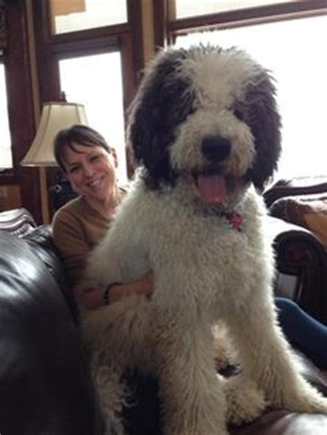 great doodle puppies for sale st berdoodle st bernard standard poodle mix info and