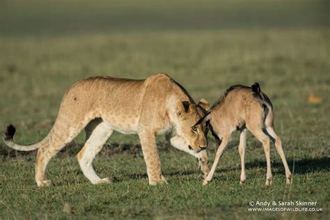 baby wildebeest when a lone baby wildebeest meets some lions africa