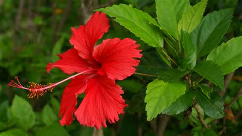 Better Homes And Gardens Decorating Hawaiian Hibiscus