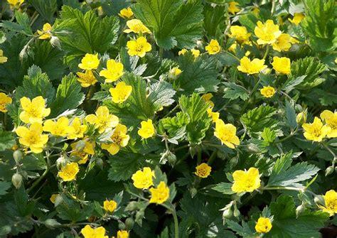 gelbe wände in der küche waldsteinia geoides waldsteinie ungarnwurz gelbe bl 252 te