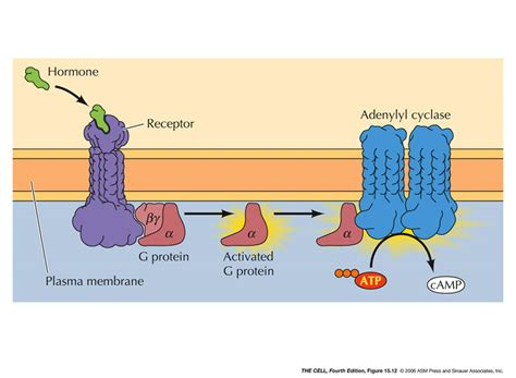 See Figures 15.12 and 15.19 G Protein Coupled Receptors Adenylyl Cyclase