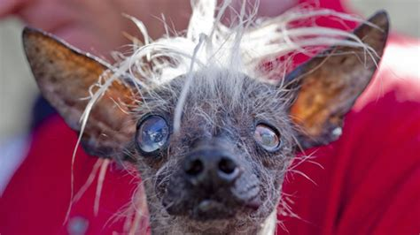 world s world s ugliest dog see 6 of the canine competitors