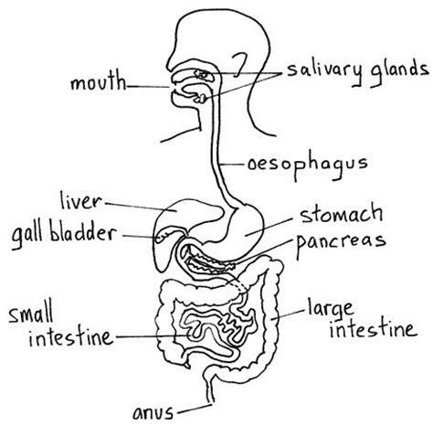 drawing system diagrams digestive system diagram search artwork