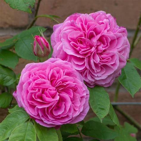 17 best ideas about shrubs on pinterest flowering shrubs rose bush and full sun flowers
