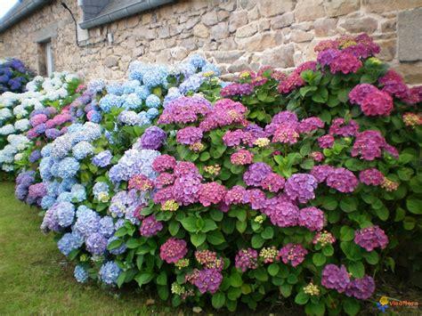 imagenes de jardines con hortensias photo hortensias bretagne c 244 tes d armor
