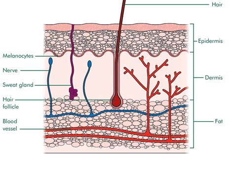 diagram of skin free coloring pages of skin structure