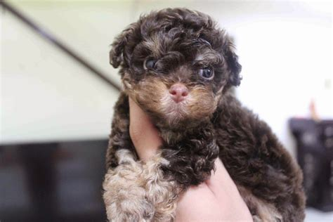 lovelypuppy phantom color poodle puppies