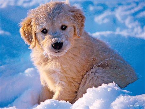 golden retriever puppies snow husky puppies in snow wallpaper