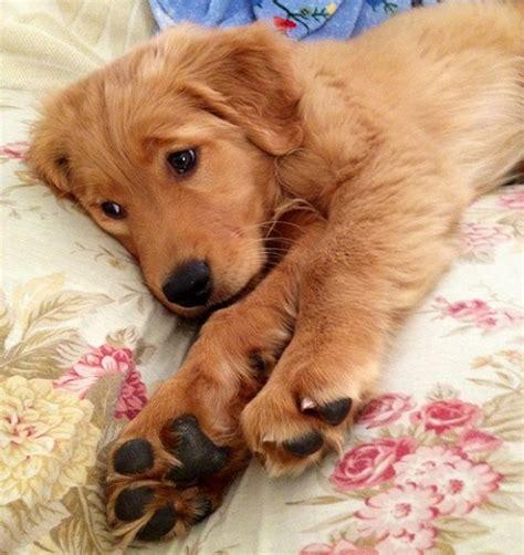 golden retriever paws 15 reasons golden retrievers are the worst indoor