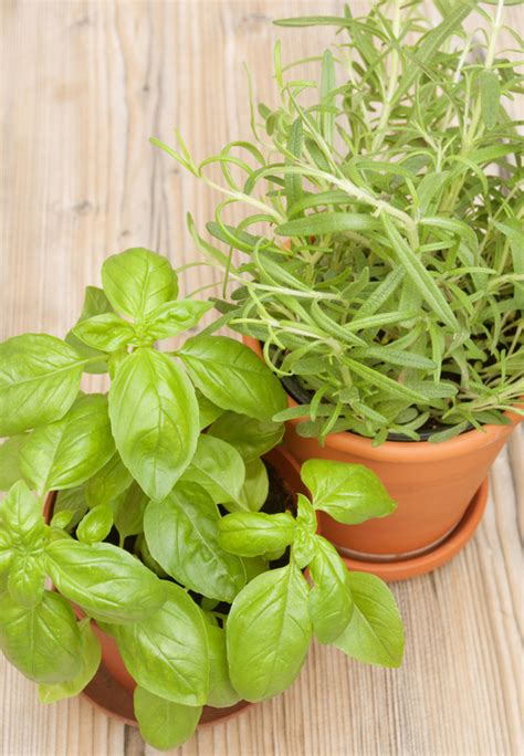 growing herbs inside growing herbs indoors tips tricks