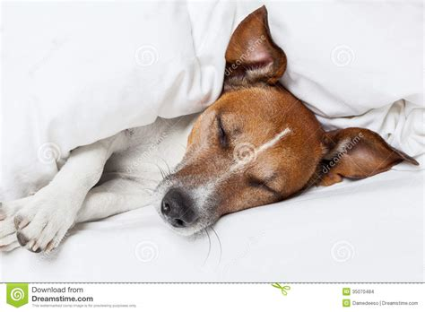 dogs in bed dog in bed stock images image 35070484