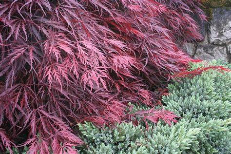 japanese maple shade 1000 images about landscaping tips techniques on
