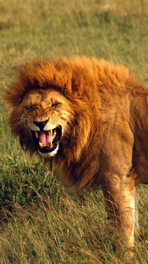 iphone wallpaper hd lion roaring lion wallpaper wallpapersafari