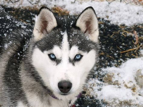 pictures of husky dogs siberian husky photo and wallpaper beautiful siberian husky pictures